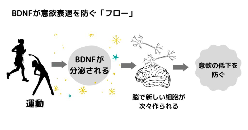 BDNFフロー